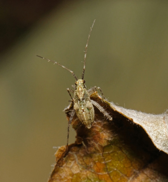 Phytocoris sp nymph, July