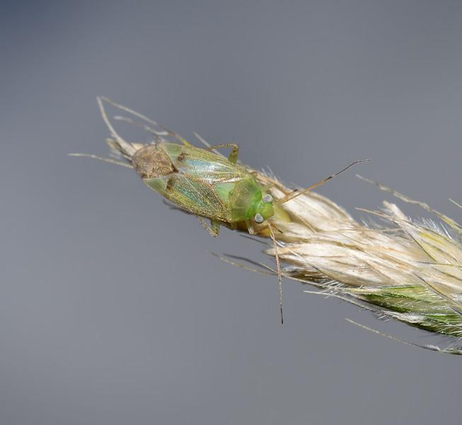 Neolygus sp, June