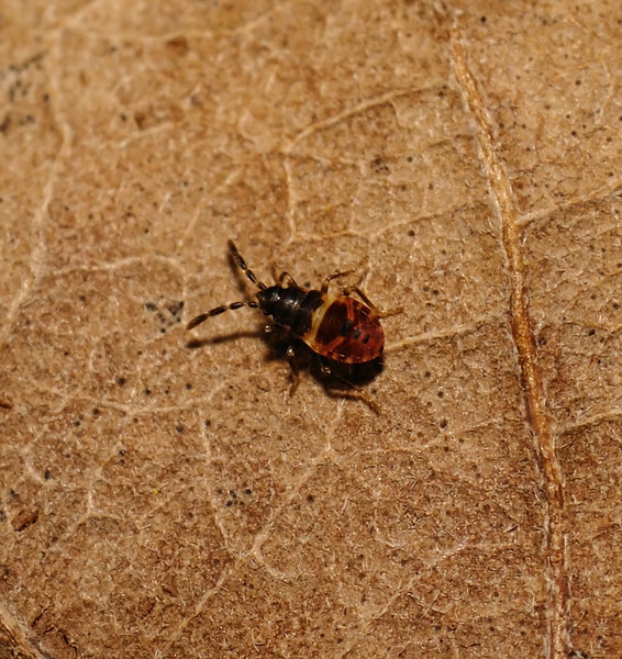 Scolopostethus sp nymph, March