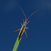 Notostira elongata male, September