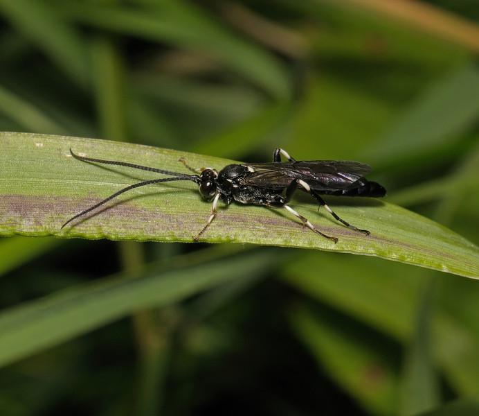 Ichneumon Wasp, June