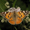 Painted Lady, May