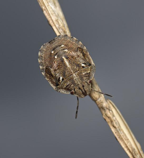 Tortoise Shieldbug - Eurygaster testudinaria nymph, August