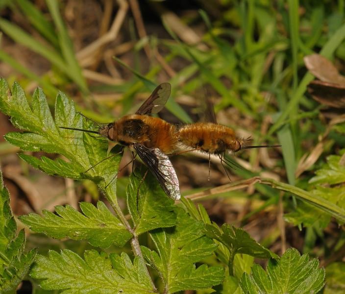 Bombylius major pair, April