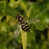Eupeodes sp, June
