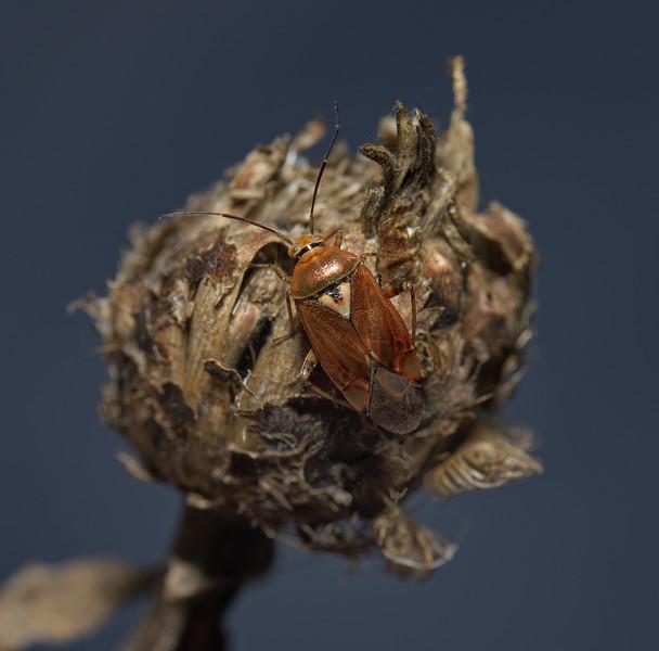 Lygus pratensis, October