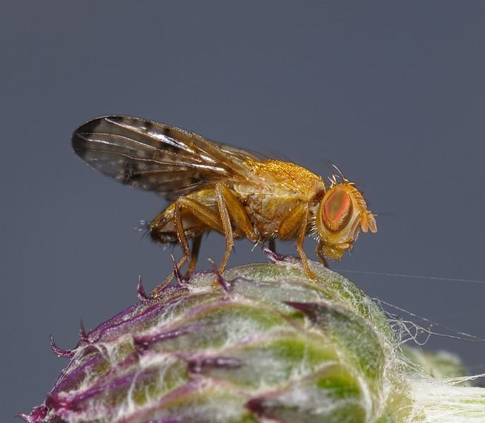 Lauxaniid fly,  August