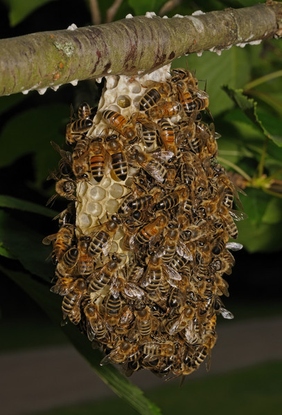 Honey bee nest, June 12th