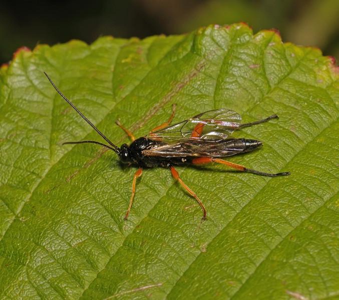 Ichneumon Wasp, October