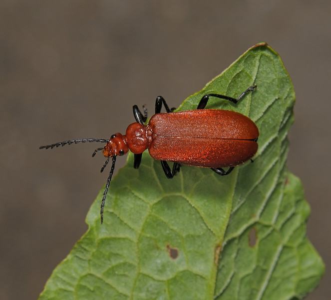 Pyrochroa serraticornis, June