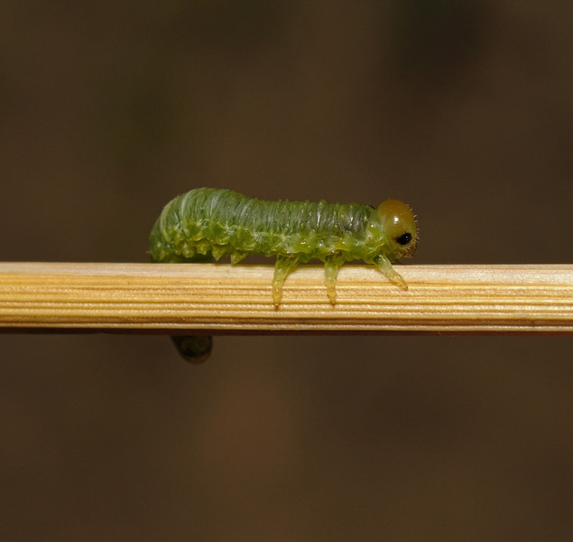 Sawfly larva, August