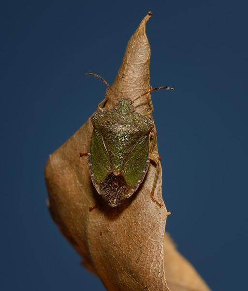 Green Shieldbug - Palomena prasina, March