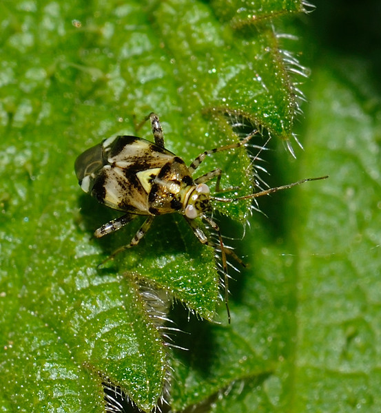 Liocoris tripustulatus, September