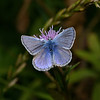 Common Blue male, August