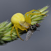Misumena vatia with prey, May