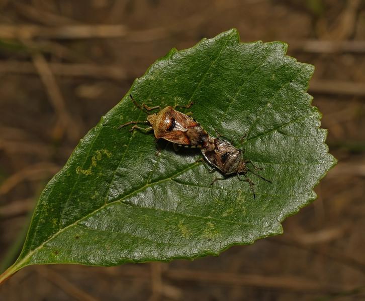 Parent Bug - Elasmucha grisea pair, August
