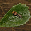Parent Bug - Elasmucha grisea pair, August