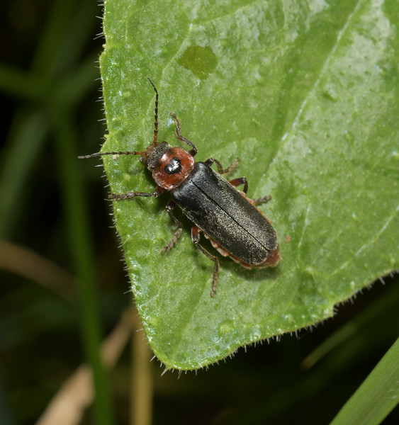 Cantharis rustica, May