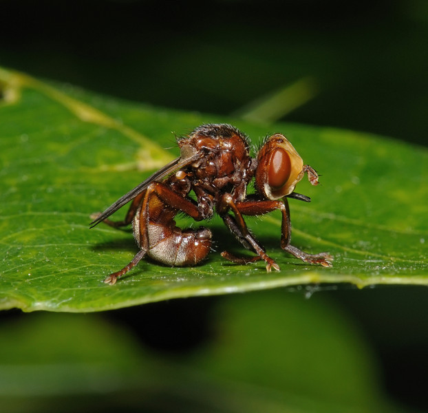 Sicus ferrugineus, June