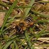 Andrena flavipes female, April