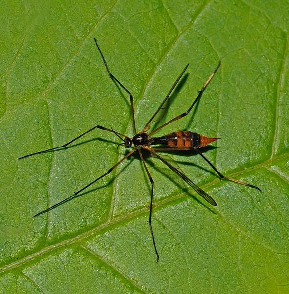 Ptychoptera contaminata, September