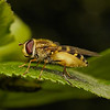 Syrphus sp, May