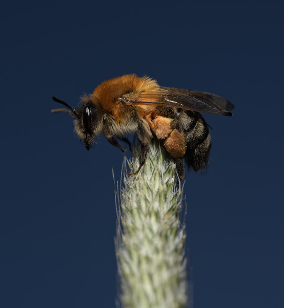 Andrena haemorrhoa female, May