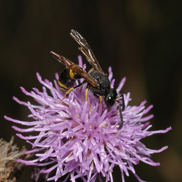 Ancistrocerus sp, August