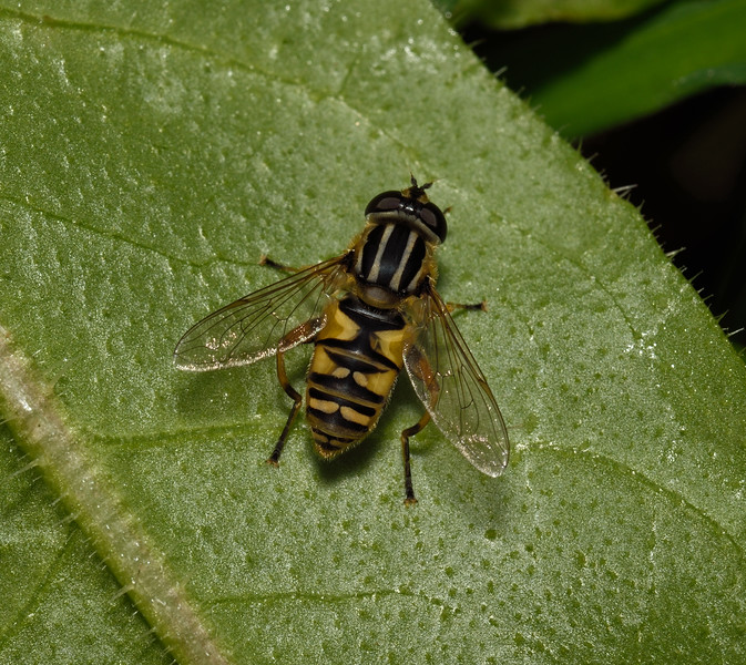 Helophilus sp, October