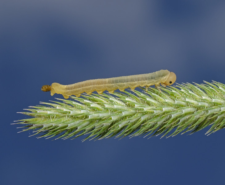 Sawfly larva, July