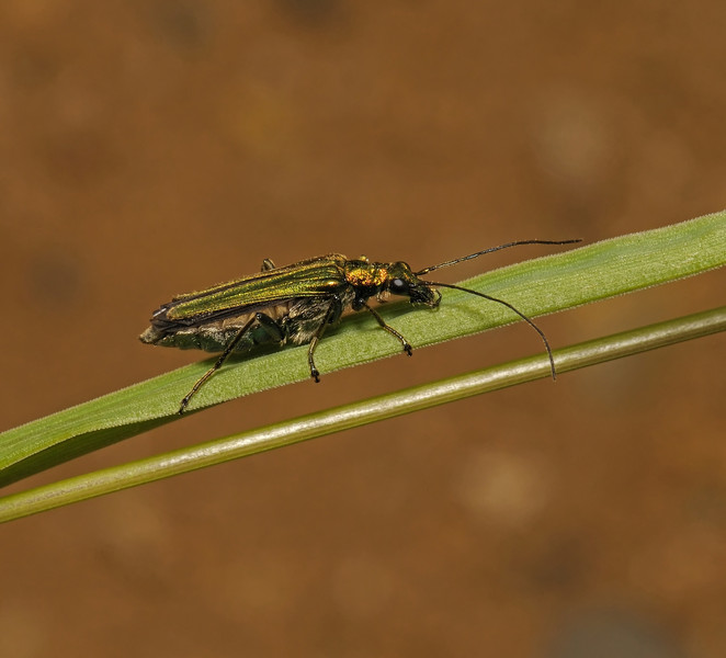 Oedemera nobilis female, June