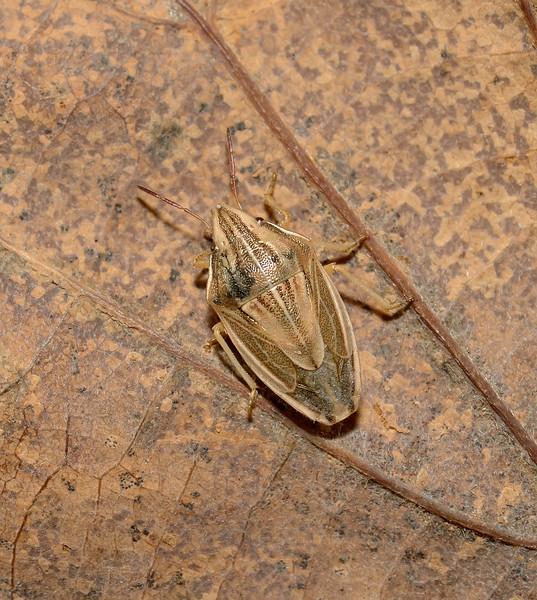 Bishop's Mitre Shieldbug - Aelia acuminata, January