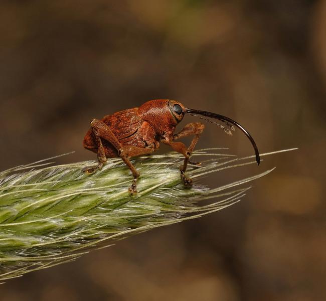 Weevil - Curculio sp, May