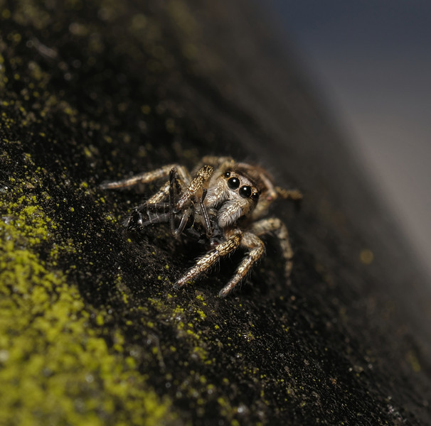 Salticus scenicus with prey, May