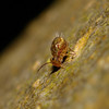 Dicyrtomina sp, March