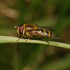 Syrphus sp, April