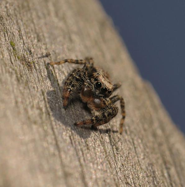 Marpissa muscosa male, June
