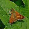 Large Skipper female, July