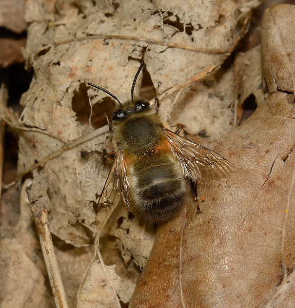 Anthophora plumipes male, April