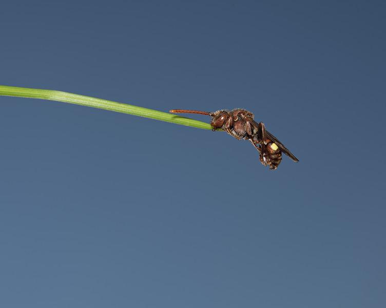 Nomada flava, May