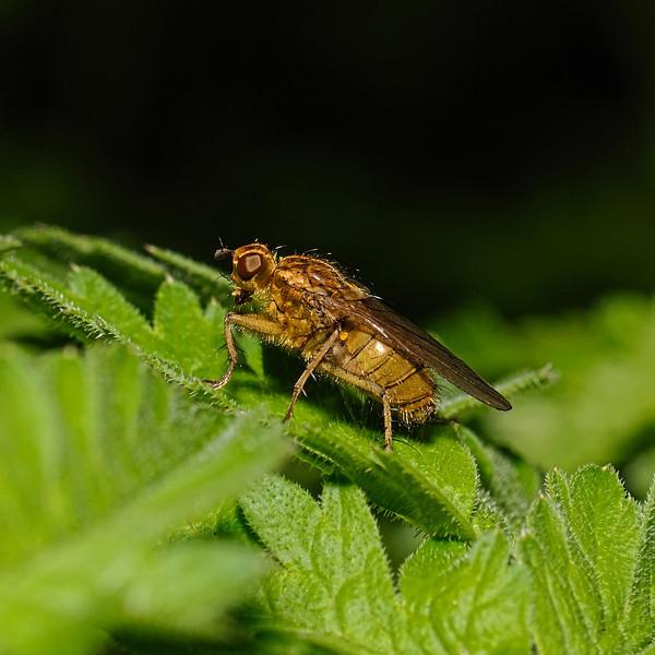 Scathophaga stercoraria, March