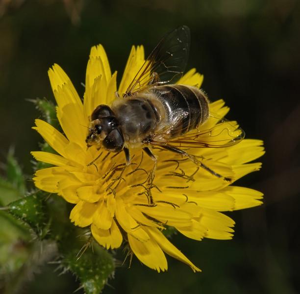 Eristalis sp female, September
