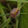 Sloe Shieldbug, Dolycoris baccarum, April