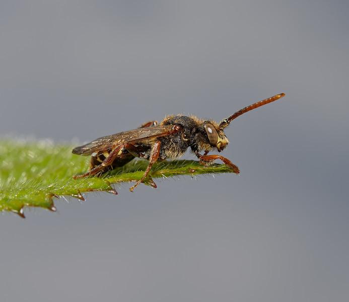 Nomada flava male, April