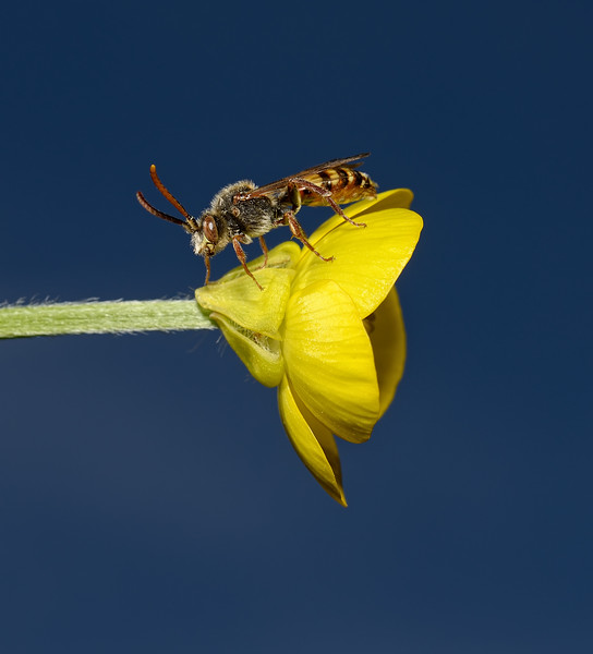 Nomada flava male, May