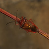 Hawthorn Shieldbug - Acanthosoma haemorrhoidale, November
