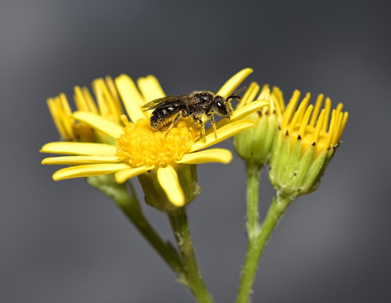 Lasioglossum sp, August