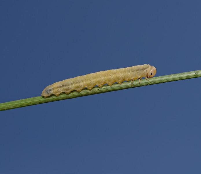 Sawfly larva, June