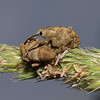 Weevil - Curculio sp, June
