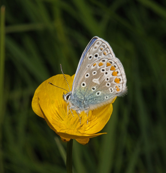 Common Blue, May
